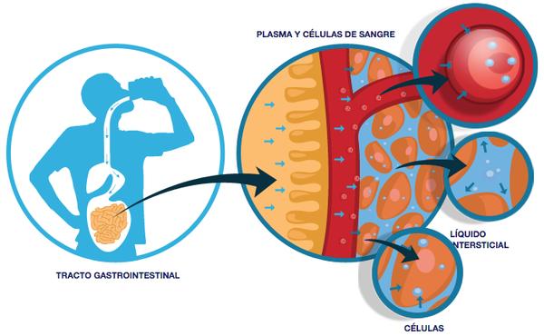 celulas_2019-05-03 Agua en el cuerpo.png